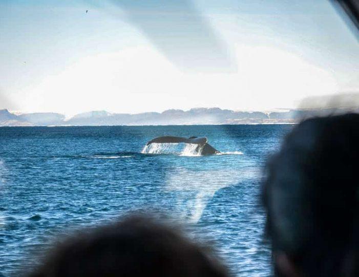 whale-safari-ilulissat-disko-bay - Guide to Greenland5