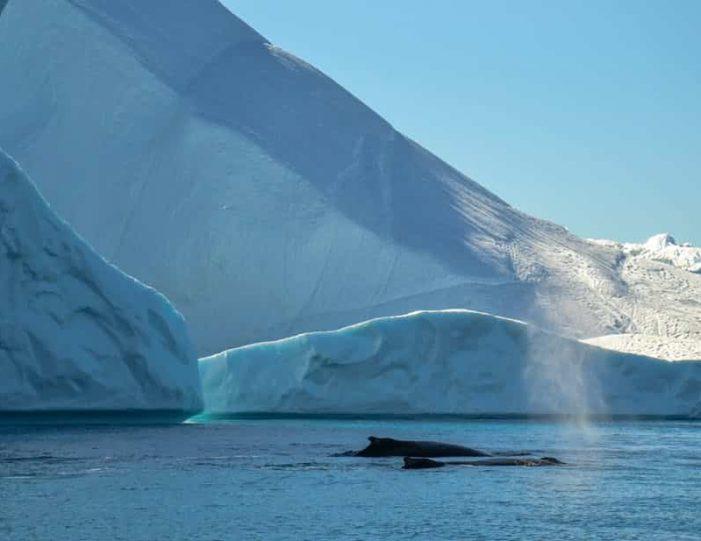whale-safari-ilulissat-disko-bay - Guide to Greenland6