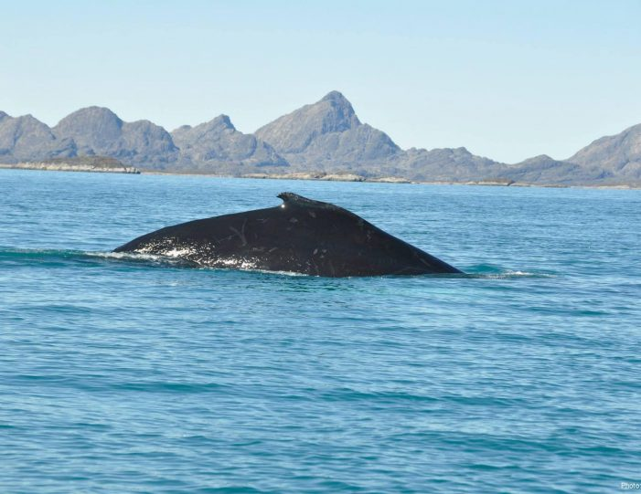 whale-safari-maniitsoq-west-greenland-Guide to Greenland1