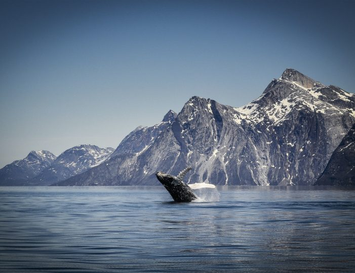 whale-safari-maniitsoq-west-greenland-Guide to Greenland3