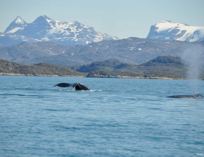 whale-safari-maniitsoq-west-greenland-Guide to Greenland4