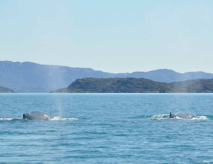 whale-safari-maniitsoq-west-greenland-Guide to Greenland5