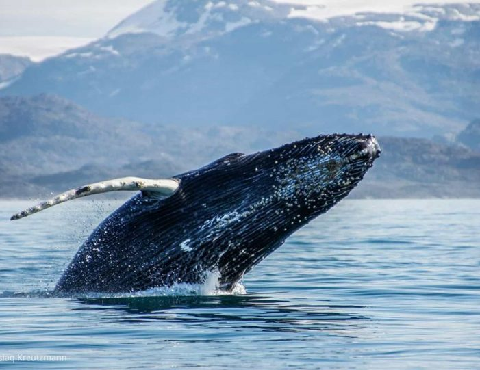 whale-safari-maniitsoq-west-greenland-Guide to Greenland6