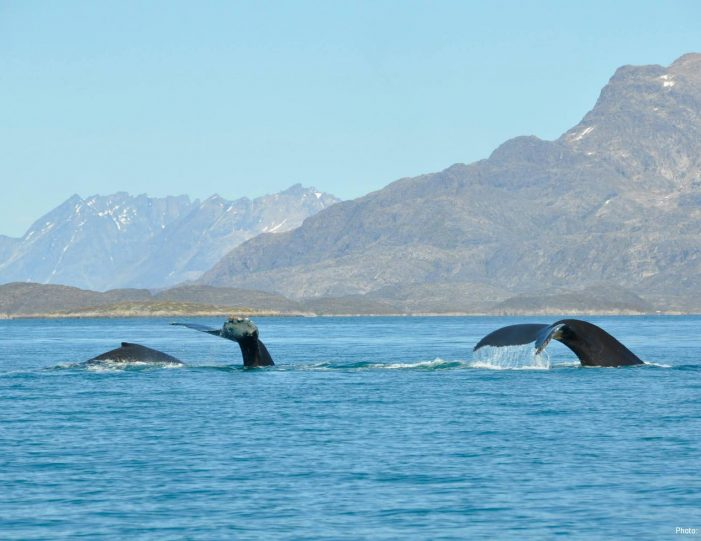 whale-safari-maniitsoq-west-greenland-Guide to Greenland7