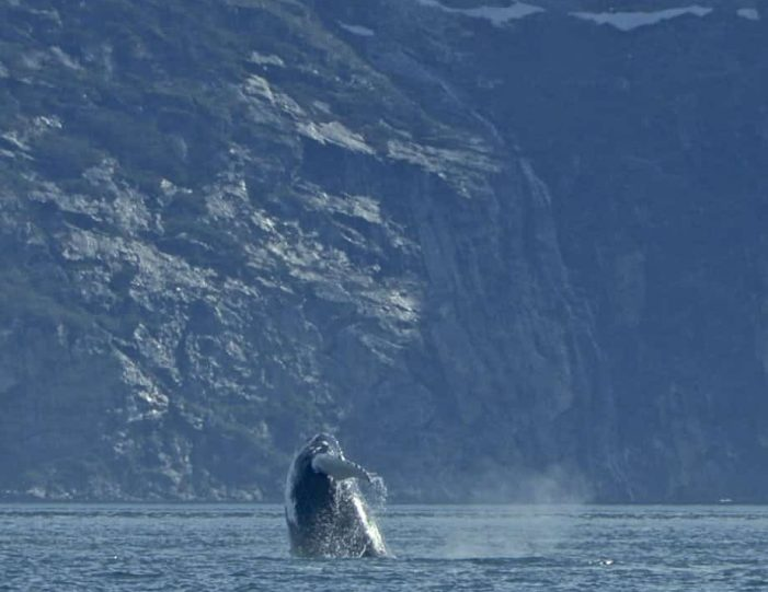 whales-ice-private-tour-ilulissat-disko-bay-Guide to Greenland5