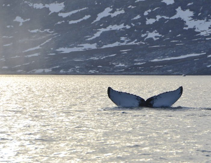 whales-ice-private-tour-ilulissat-disko-bay-Guide to Greenland8