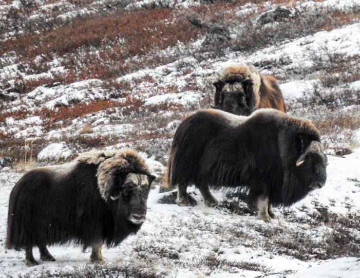 wildlife-hiking-safari-kangerlussuaq - Guide to Greenland15