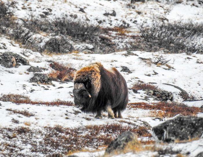 wildlife-hiking-safari-kangerlussuaq - Guide to Greenland2