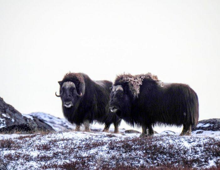 wildlife-hiking-safari-kangerlussuaq - Guide to Greenland3