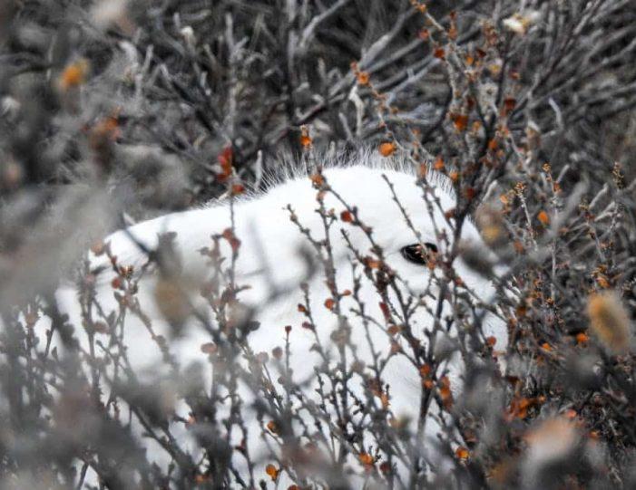 wildlife-hiking-safari-kangerlussuaq - Guide to Greenland4