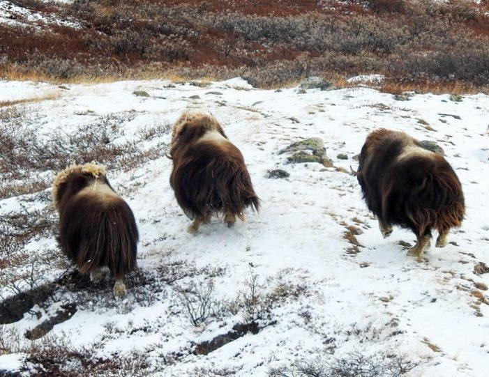 wildlife-hiking-safari-kangerlussuaq - Guide to Greenland5