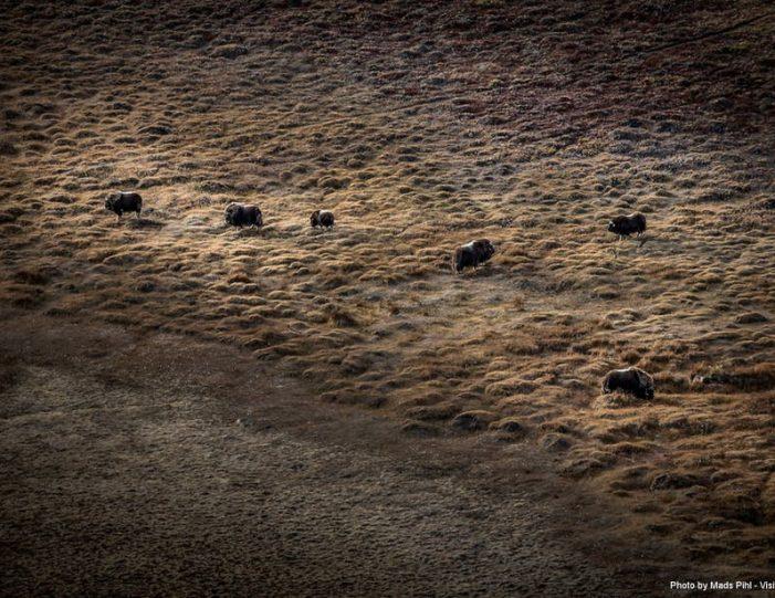 wildlife-hiking-safari-kangerlussuaq - Guide to Greenland6